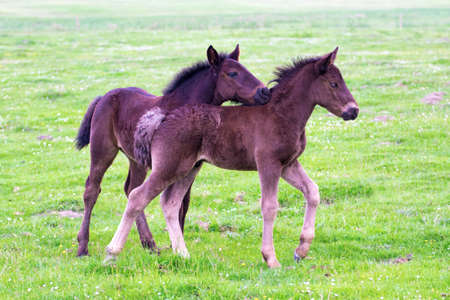 Two brown foals are playing on the floral meadow Stock Photo