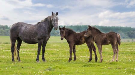 Mare and two foal on the spring  meadow