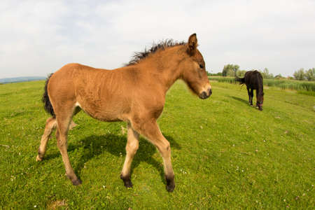 Brown foal on the spring meadow