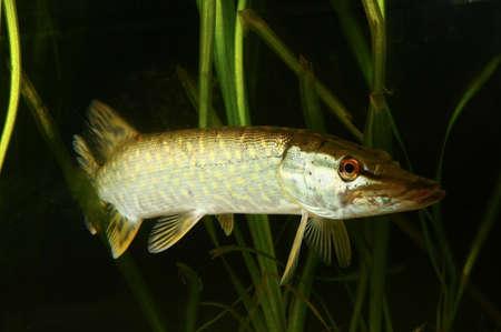 Hecht, Esox lucius Fisch schwimmt im Teich Standard-Bild - 78288224
