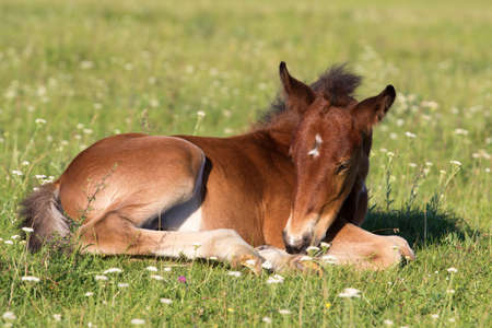 Sorrel foal resting on the floral meadow