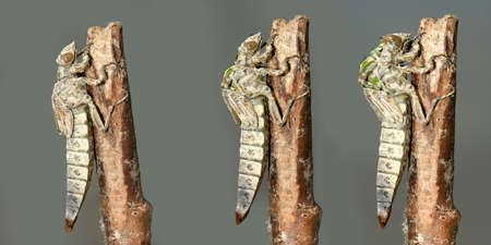 Metamorphosis of Gomphus flavipes, River Clubtail dragonfly Stock Photo