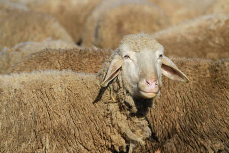 Retrato de ovejas en el rebaño Foto de archivo - 81639976