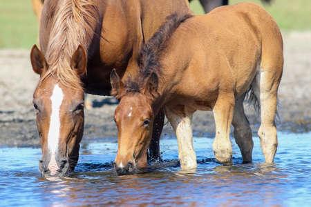 브라운 어머니 말과 새끼 마시는 물을 물을 장소에