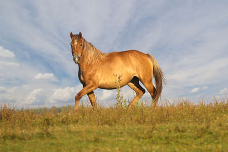 Wild Sorrel horse is galloping on floral meadow over cloudy sky Reklamní fotografie