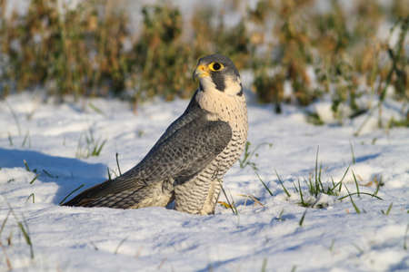 Wild peregrine falcon is resting on snow