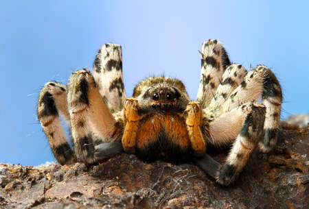 Portrait of  dangerous creepy  tarantula Lycosa singoriensis Stock Photo
