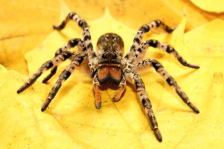 위험한 소름 끼치기 독 거미 Lycosa singoriensis 노란 잎에 스톡 콘텐츠