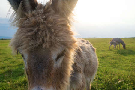Portrait of   funny donkey on the meadow
