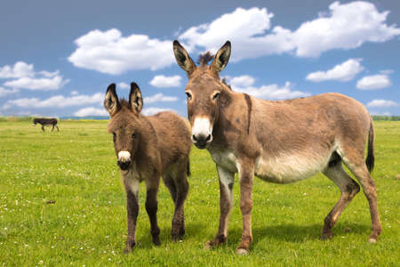 Mother and baby donkey on the floral meadow over cloudy sky