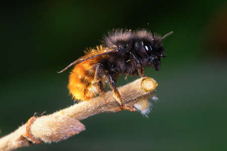 Wild solitary bee Osmia cornuta on the branch