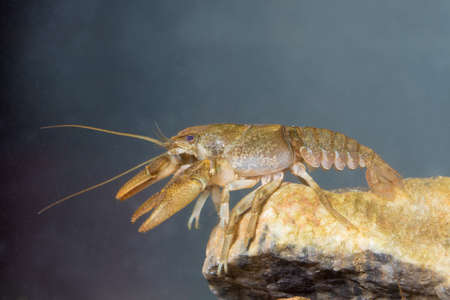 Lobster like freshwater Stone crayfish, Austropotamobius torrentium on the pond