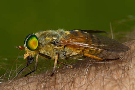 Horse fly on the human skin biting and sucking blood Stock Photo
