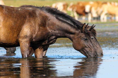 Two wild black horses drinking water on watering place Stock Photo