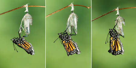 Monarch Butterfly (Danaus plexippus) drying its wings after  metamorphosis Stock Photo