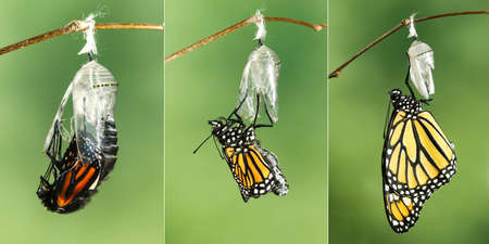 Papillon monarque (Danaus plexippus) séchant ses ailes après métamorphose