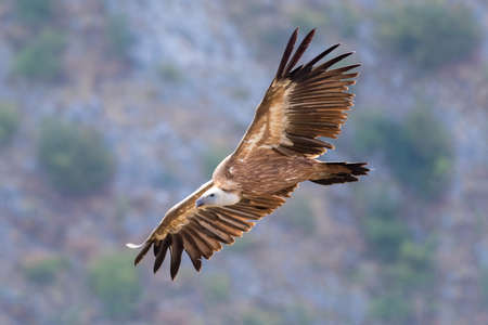 Griffon vulture  Gyps  fulvus flying above canyon of Uvac river