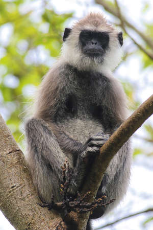 Female of Gray Langur Semnopithecus priam on the tree in Sri Lanka