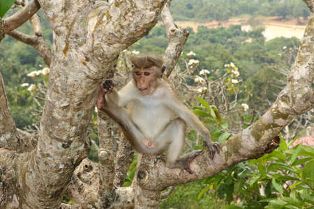Male Macaque monkey Macaca sinica in Sri Lanka jungle