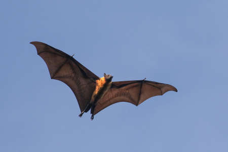Giant Indian flying fox bat on the fly,  Pteropus, giganteus