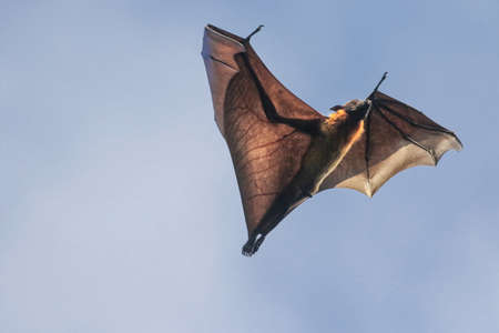 Male of Indian flying fox bat on the sky,  Pteropus giganteus