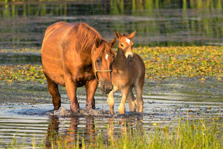 Sorrel  mother horse and foal on the drinking place