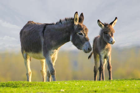 Grey cute baby donkey and mother on floral meadow Stockfoto
