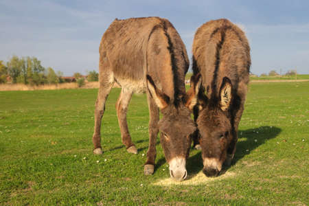 Two funny donkeys is grazing on the floral meadow
