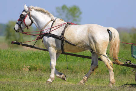 White horse in carriage on the spring meadow
