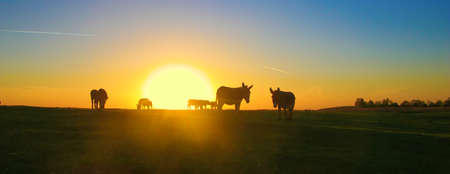 Heard of  donkeys on the field in the sunset