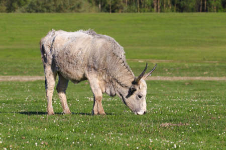 Hungarian gray cow graze on floral spring pasture