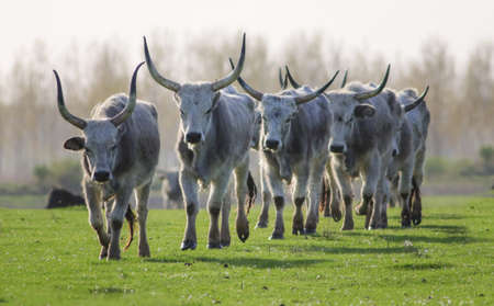 Herd of Hungarian Grey cattle cows with long dangerous horn