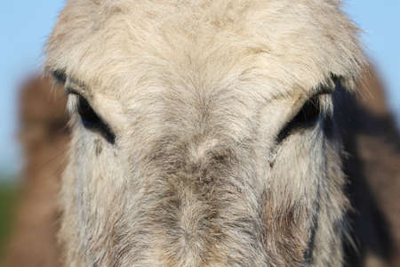 Close-up of a hairy donkey head