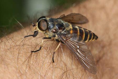Gadfly, Tabanus bovinus auf der menschlichen Haut Standard-Bild