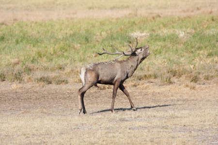 Roaring red deer Cervus elaphus in rutting season on the meadow