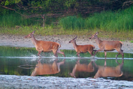 Doves and fawn of red deer is crossing river