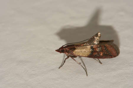 Indian meal moth pest, Plodia interpunctella on white wall