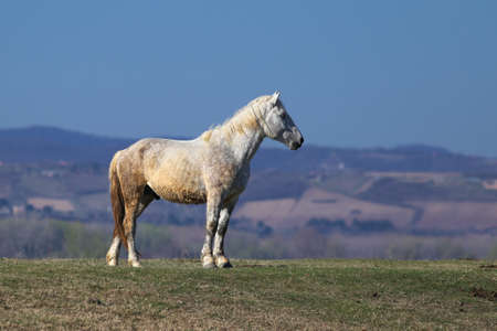 White wild stud on the meadow is watching