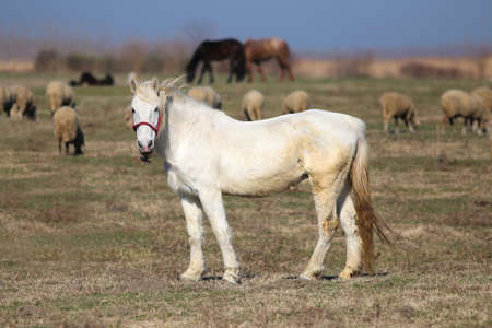 White mare on the pasture between sheep flock