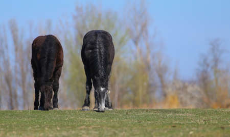 Two black horses graze on floral spring meadow