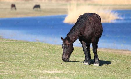 Black horse is grazing on the pasture 免版税图像