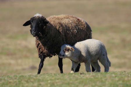 Black sheep and cute white lamb in the meadow