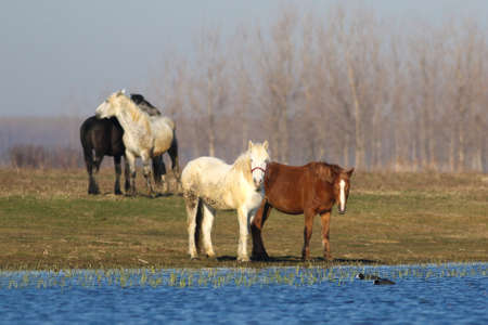 Four wild horses on the watering place