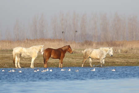 Three wild horses and seagulls on the watering place