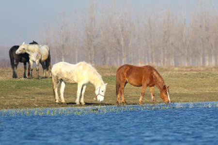 Four wild horses is drinking on the watering place