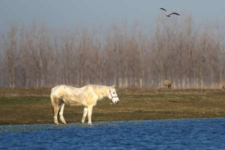 White mare and  Seagull on the watering place 版權商用圖片