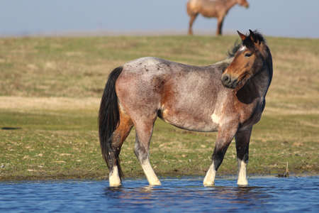 Wild horse  is watchig in watering place