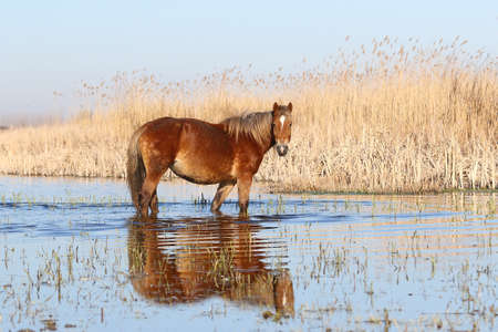 Wild  sorrel horse is watchig in watering place
