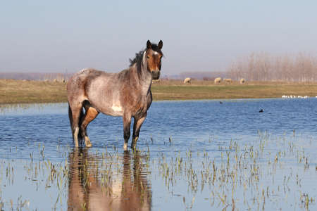 Wild  horse  is watchig in watering place and flock of sheep 免版税图像