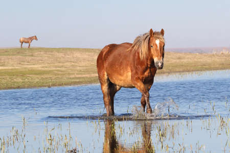 Wild sorrel horse troat through the water on the watering  place 免版税图像